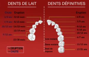 Dents de l'enfant, Dents de l'adulte